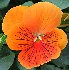 Tiger Pansy! ('cosmicgirl1960' NEW CANON CAMERA) Tags: flowers worldflowers nature parks gardens spain espana andalusia costadelsol yabbadabbadoo travel holidays yellow green orange marbella pansy