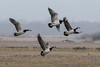 148c_933 (Baffledmostly) Tags: birds caerlaverock wwt barnaclegeese svalbard