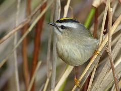 Lost In A Sea Of Grass (ebirdman) Tags: goldencrowned kinglet regulus satrapa goldencrownedkinglet regulussatrapa