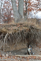 Dog Under Tree (peterkelly) Tags: ontario canada northamerica digital canon 6d wheatley bluff tree roots erosion dog greatlakes lakeerie beach sand driftwood log leaves
