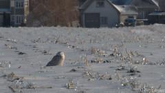Harfang des neiges ♀-9089.jpg (auclairpierre) Tags: snowyowl harfangdesneiges buboscandiacus strigidés