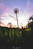Dandelion Sunset (Ben Powell Photo) Tags: sunset dandelion flower macro macrophotography photographer clouds cloudy cloudscape landscape nature grass colourful vivid subdued tones sharp detail nikon nikonphotography closeup wide perspective