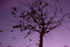 Fin de journée en Suisse / End of the day in Switzerland (Joseff_K) Tags: suisse switzerland arbre tree ciel sky violet purple dusk crepuscule diapositive leica film inversible ektachrome leicacl kodakektachrome100 100asa
