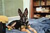 Shontababa (Benaami) Tags: gsd gsdpuppy nikon 50mm f18 50mmf18 50mm18 d610 nikond610 alsatian dog german shepherd