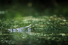 Frog (svpe4711) Tags: see water frog tier amphibien natur animal makro grün macro sony amphibian lake green a6000 wasser nature frosch