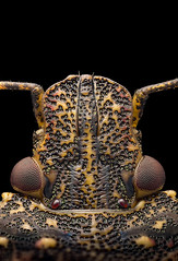 Stink bug (Saul G.) Tags: macro macrolife macrophotography macroworld micro mitutoyo raynox dcr250 nikon d7200 stinkbug stink bug stacking stack focus 25x insect nature dof