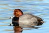 Redhead (Ed Sivon) Tags: america canon nature lasvegas wildlife wild western water southwest desert duck clarkcounty clark vegas bird flickr nevada park