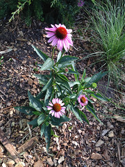 PURPLE CONEFLOWER (aka Echinacea purpurea), in Staten Island, New York, USA. July, 27, 2017 (Tom Turner - NYC) Tags: flower perennial native purple coneflower purpleconeflower echinaceapurpurea nature tomturner statenisland bigapple newyork nyc usa unitedstates plant