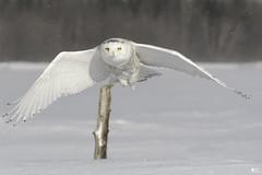 ''Lumière!'' Harfang des neiges-Snowy owl (pascaleforest) Tags: oiseau bird animal hibou owl winter hiver neige snow lumière light wild wildlife faune québec canada passion nikon nature forest forêt