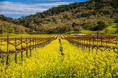 Early Spring at Napa, CA (黃毓玲) Tags: napa landscape nature flower yellow sky goodweather winery vineyard california photography photo beautiful beauty tree