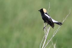 Bobolink- a consolation prize (geno k) Tags: manitoba sw manit swmanitoba 662017 bobolink consolationprize grassland grasslandbird