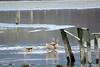 Ouettes d'égypte (jean-daniel david) Tags: oie ouettedégypte nature oiseau oiseaudeau lac lacdeneuchâtel réservenaturelle reflet bois yverdonlesbains