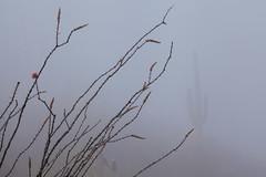 Tum04_small (patcaribou) Tags: tucson tumamochill sonorandesert fog cactii saguarocactus