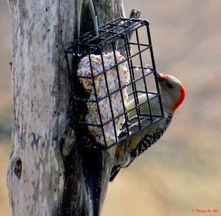 Redbelled Woodpecker.
