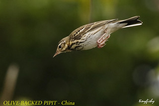 (N.American Species #624) Olive-backed Pipit