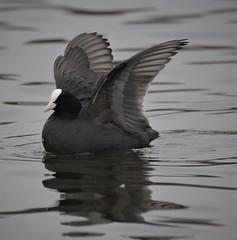 Coot (Zooman2009) Tags: bird life