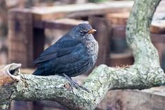 female blackbird (dgmann11) Tags: blackbird