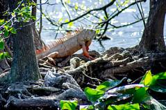 Wakodahatchee 2018-0138 (slick.sue) Tags: iguana delraybeach florida unitedstates us