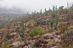 DSC_0047 saguaro east during storm 850 (guine) Tags: saguaronationalpark saguaro cactus plants rocks clouds