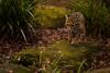 Cloud Leopard (RichardJames1990) Tags: cotswold wildlife park zoo oxford neofelis nebulosa oxfordshire burford big cat animal cute purr paw padded feline cloud leopard lepord leaoprd uk england
