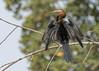 African Darter (tickspics ) Tags: africa birds upperbaddibu baobolongwetlands thegambia africandarter anhingarufa anhingidae