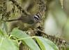 Costa Rican Warbler (Basileuterus melanotis) (Gmo_CR) Tags: basileuterusmelanotis costaricanwarbler reinitacostarricense costarica coronado monserrat gmocr guillermosaborio