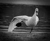 Swan ballet (MortenTellefsen) Tags: swan ballet swanlake bw blackandwhite blackandwhiteonly bnw svane svarthvitt monochrome artinbw birds bird norway norwegian