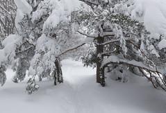 Slivnica (happy.apple) Tags: cerknica slovenia si slivnica slovenija snow winter snowstorm zima sneg notranjska pine trail geotagged