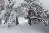 Slivnica (happy.apple) Tags: cerknica slovenia si slivnica slovenija snow winter snowstorm zima sneg notranjska pine trail
