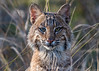Florida Bobcat (DonMiller_ToGo) Tags: bobcat millerville nature onawalk kitty d5500 wildlife outdoors florida