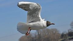 Lachmöwe am Rhein (karinrogmann) Tags: lachmöwe blackheadedgull gabbianocontestanera köln cologne rhein rhine reno