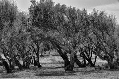 Shaped by The Wind (Ivona & Eli) Tags: nohuman outdoors israel herzliya mediterranean beach shore cliff windy trees bw monochrome
