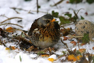 Winter Thrushes at Stutton