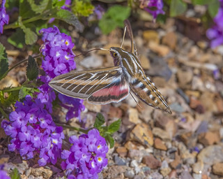 Striped Hawk Moth 1