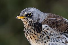 Fieldfare (Bill Richmond) Tags: fieldfare turduspilaris thrushfamily turdidae wintervisitor winteradult nikond810 nikon500f4 garden