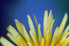 Dandelion petal (vitaliy_bondarchuk) Tags: flowers petal spring head blossom beauty nature season leaf plant green tree macro white growth blue botany clear day yellow garden ornate branch vibrant field bright closeup backgrounds dandelion