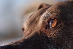 my eyes adore you (anaspringfeldt) Tags: rednose rednosepitbull apbt fujifilmxh1