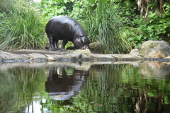 Pygmy Hippopotamus (Choeropsis liberiensis) (Seventh Heaven Photography) Tags: choeropsis liberiensis pygmy hippopotamus melbourne zoo australia wildlife hippopotamid nikond3200 hexaprotodon nocturnal endangered animal mammal reflection water grasses leaves