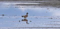 Bird in a farmers field (D70) Tags: delta britishcolumbia canada bird farmers field nikon d750 150600mm f563 ƒ130 6041mm 14000 10000