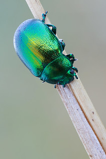 Chrysolina sp.