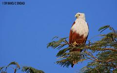 Brahminy Kite (MCSindagi) Tags: sony sonyindia sonyrx10iv sonyrx10miv sonyrx10mkiv brahminykite telephoto bengaluru karnataka india birds predators avian