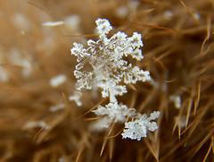 The Last Snowflake (BKHagar *Kim*) Tags: bkhagar snowflake macro extreme snow freeze freezing cold bitter winter 2018 furhat