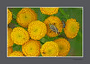 KNOOPJESKRUID of BOERENWORMKRUID - [Tanacetum vulgare] (FotoRoelie.nl) Tags: knoopjeskruid boerenwormkruid tanacetum vulgare gele bloemen