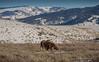 Bull moose (scepdoll) Tags: baldeagle grandtetonnationalpark jackson jacksonhole kelly wyoming backlitcoyote bisoncrossing bisoninheadlights coyote moose owl snow winter