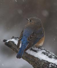 Eastern Bluebird, female (AllHarts) Tags: femaleeasternbluebird backyardbirds memphistn naturescarousel ngc naturesspirit thesunshinegroup
