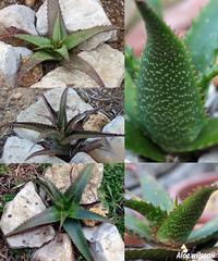 Aloe wilsonii (2) (alloe.) Tags: aloe