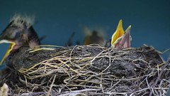 Baby Robins (TCeMedia/Telecide) Tags: nature robin robins baby chicks nest