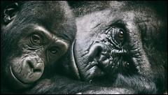 _SG_2018_02_0000_IMG_3395 (_SG_) Tags: nachwuchs baby newblood offspring newborn new born gorilla apes affe affen ape monkey menschenaffe primaten primates schwarzundweiss schwarzweiss blackwhite bw black white blackandwhite schwarz weiss