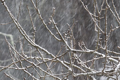 Falling Snow on Pear Branches (brucetopher) Tags: snow snowing snowfall snowstorm storm snowflake snowflakes winter cold snowy wintry scene landscape forest woods yard clearing