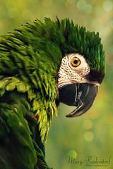 Golden Eye--Jasper the devil bird (mraderstorf) Tags: severemccaw jade beak sharp bite mccaw one chestnutface feather stare soul goldeneye nikond700 bokeh bird green shiny nikon105mmf28macro jasper 36535 365project project365 animal